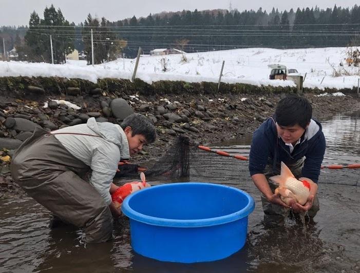 Harvesting kois from Marugen Koi Farm Mud Pond In Japan